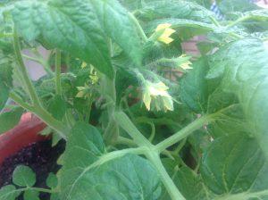 tomaatti_kukka