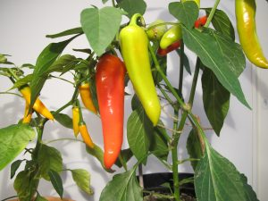 Chilipaprikat_HotBanana- ja HotCarrot