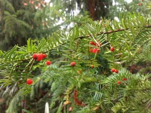Marjakuusen pienet punaiset kävyt muistuttavat marjaa. Kannattaa silti muistaa, että koko kasvi on myrkyllinen.