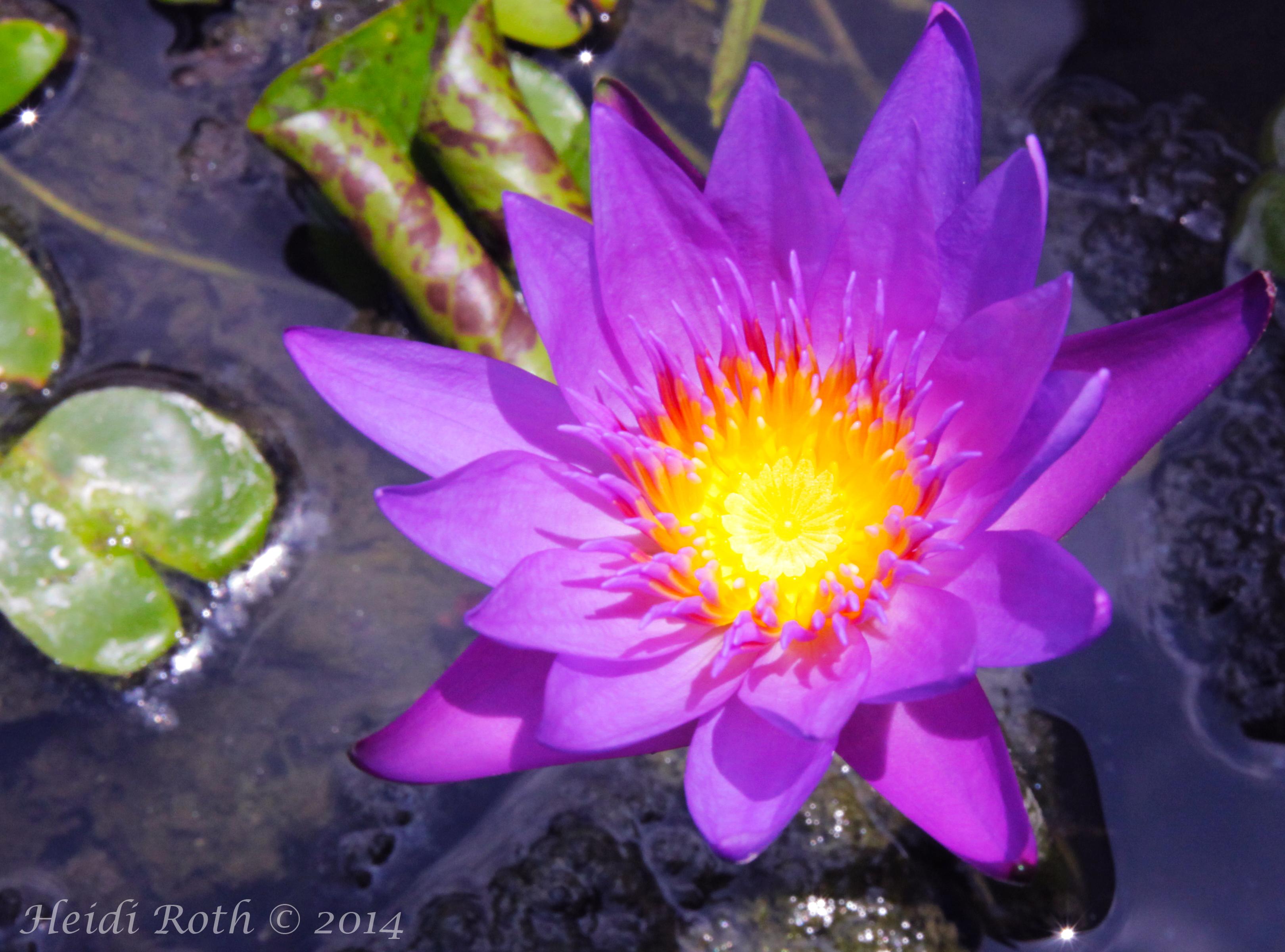 Lootuksen Kukka