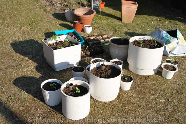 Ilmat kun lämpiää, on kiva laitella taimia pihalla multaan (välttyy suuremmalta siivoamiselta). Ruukkujen kokoa kannattaa miettiä sen mukaan paljonko on tilaa ja missä niitä käyttää.