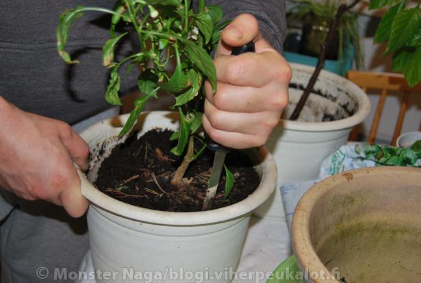 Isompaan ruukkuun vaihtaessa kannattaa kasvin antaa ensin hieman kuivahtaa ja auttaa kaveria mäessä, siis irroittaa multa kunnolla purkin reunalta esim. pitkällä fileerausveitsellä, jolloin chili irtoaa vanhasta purkista suosiolla.