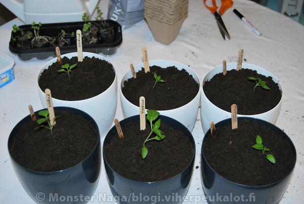 Koeputkikutoset, siis kokeilu miten kasvupaikka vaikuttaa kasvamiseen.  Näitä veijareita seurataan tulevissa bloggauksissa.