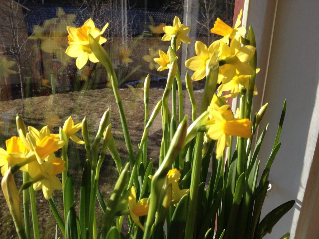 Ihanat narsissit juuri ennen pääsiäistä. Pyhinä kastelija oli niin muissa maailmoissa, että nämä kuivuivat käytännössä pystyyn.