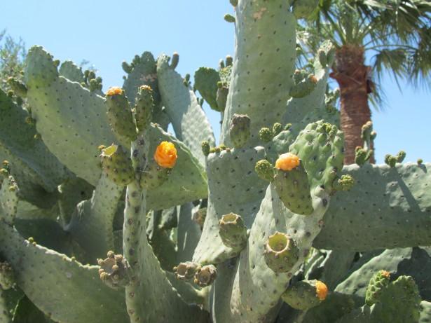 7_kaktus_kukkii