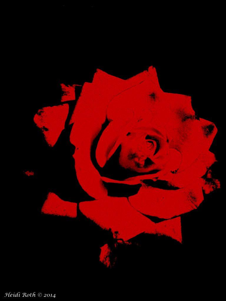 Punainen_ruusu