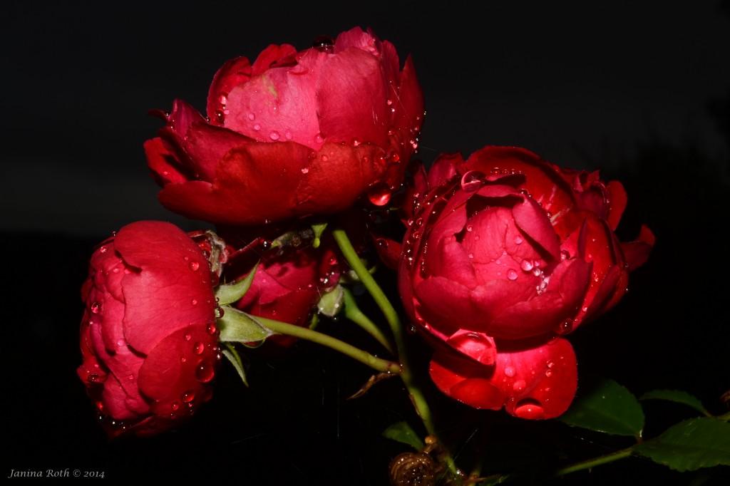 ruusut, ruusu