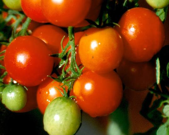 Itse kasvatetut tomaatit opettavat myös kärsivällisyyttä – vielä vähän punaa, niin hyvä tulee!