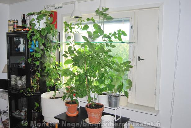 Sisällä oikeissa olosuhteissa ja oikealla lannoituksella saattaa katto tulla vastaan hyvinkin nopeasti.