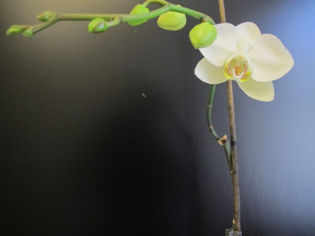 8.orkidea