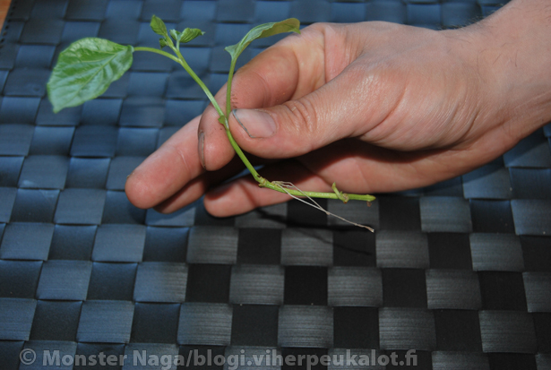 Pienestäkin se chilikin ponnistaa, eli kyllä pienikin oksa saattaa juuret kasvattaa ja tulla yhteiskuntakelpoiseksi chili-asukkaaksi.