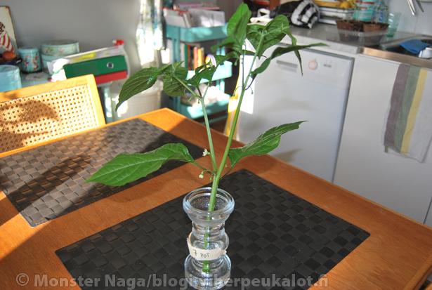Leikkuujätteen voi laittaa maljakkoon veteen kasvattamaan juuria. Pienet oksat vesilasiin.