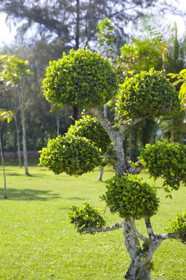 Puu_bonsai_sm