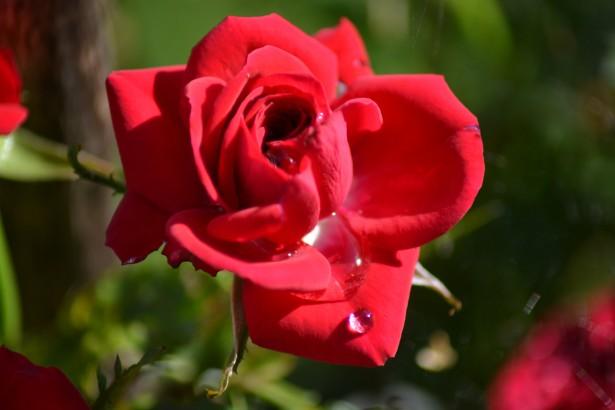 punainenruusu