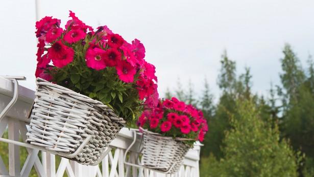 kukkalaatikkopetuniat