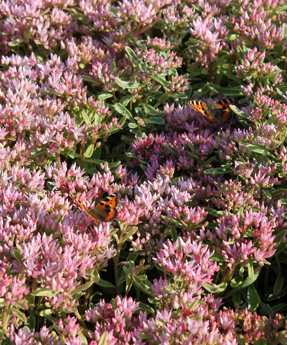 Maksaruohot ovat perhosten suosikkeja!