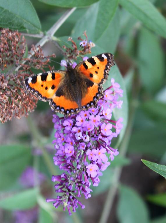 Perhoset suosivat tuoksuvia lajeja.