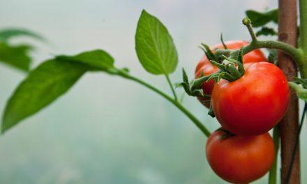 Tomaatteja ja kurkkuja kasvihuoneesta