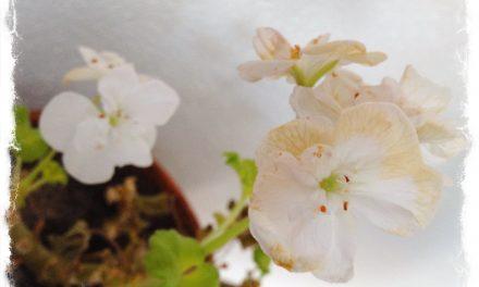 Pelargonia kukkii kellarissa