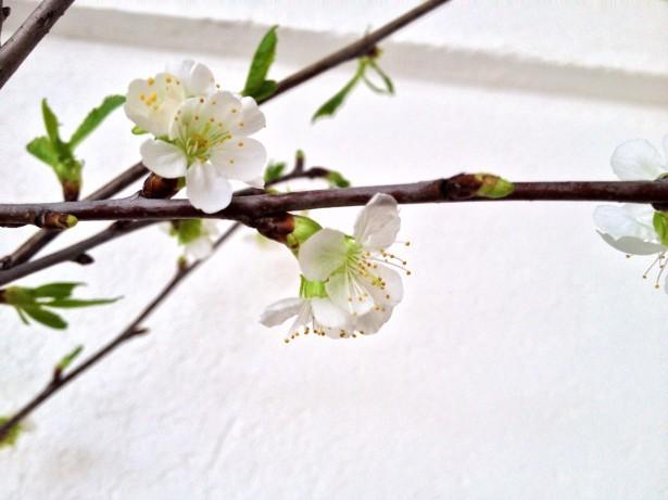 Kirsikka 1