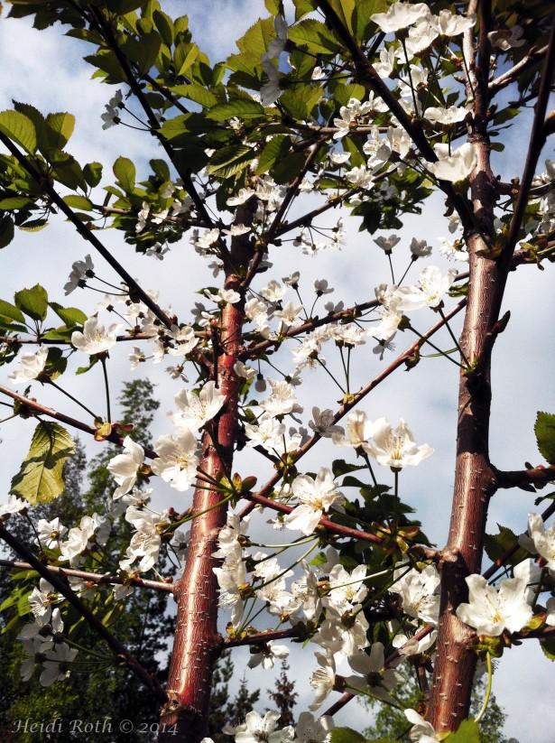 kirsikkapuu, kirsikkapuunkukka