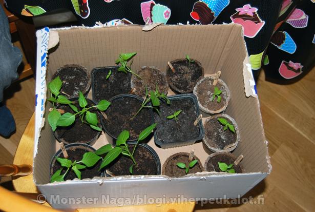 Taimet lähdössä jakamaan iloista chilisanomaa. Tämä laatikollinen menossa naapuriin jatkamaan kasvua.