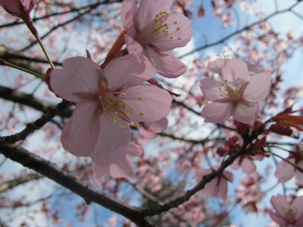 1.kirsikka