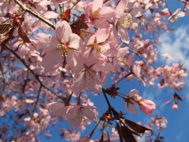 4.kirsikka