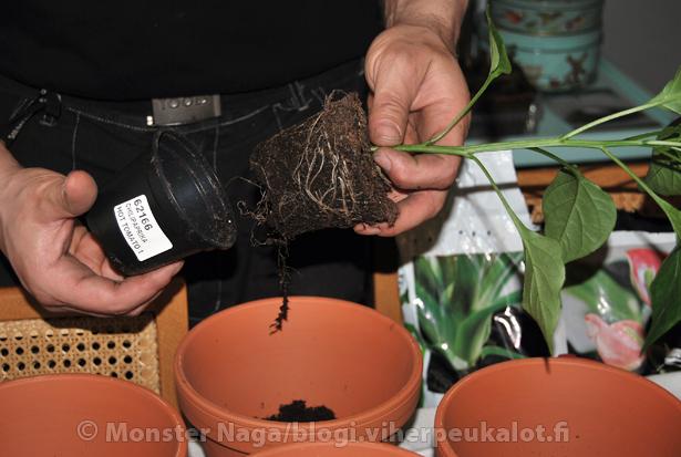 Taimet irtoavat taimiruukusta helposti ja taimissa on vahvat juuret.