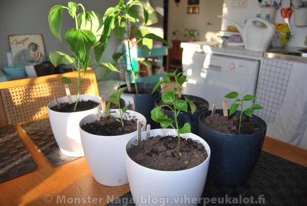 Koekasveista näkee hyvin kuinka paljon virheet verottavat kasvua. Takimmaiset kaksi kasvia ovat olleet sisällä koko ajan ja etummaiset neljä ensin ulkona/kasvihuoneessa kolme viikkoa ja tämän jälkeen neljä viikkoa elpymässä sisällä (nyt taas pihalla ja kasvihuoneessa).