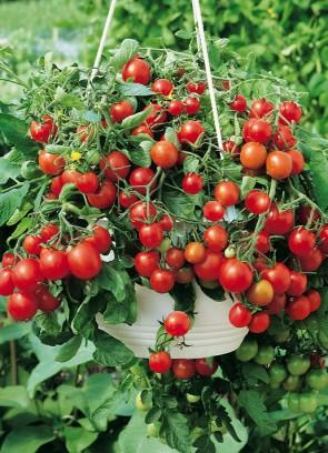 Tomaatti on takuuvarma terveysherkku, joten molemmat ainakin ovat syötävän herkullisia puutarhan väriläikkiä.