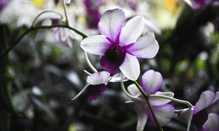 Orkidean loistoa ja lepoa