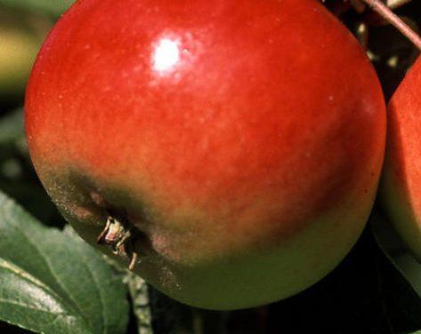 Omena päivässä – omasta puusta useita
