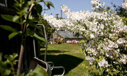 Omenan tuoksuinen pihamaa Tallinnassa