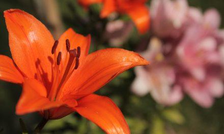 Syksyllä istutettavia sipulikukkia – liljoja ja laukkoja