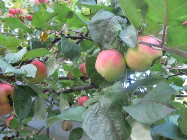 2.omenapuu