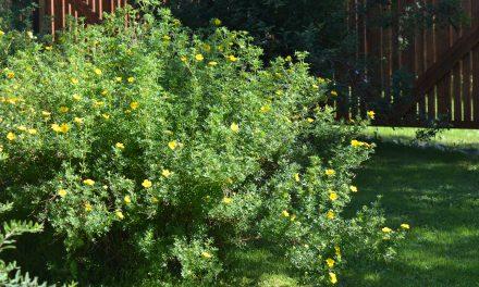 Pihojen helppohoidokit – Angervot ja pensashanhikit