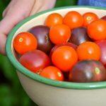 Tomaattikuumetta