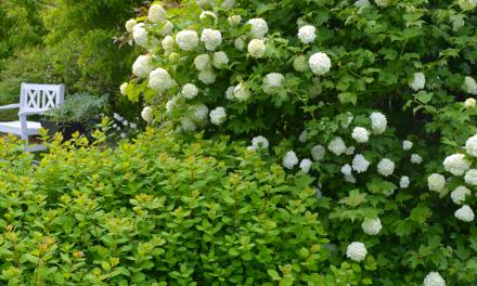 Alkukesän kukkivat koristepensaat ja -puut
