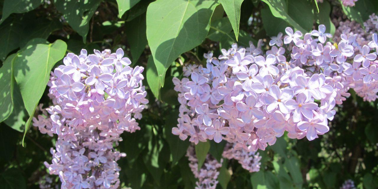 Kesän tuoksuja