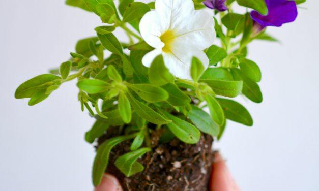 Kesäkukkia kasvattamaan!