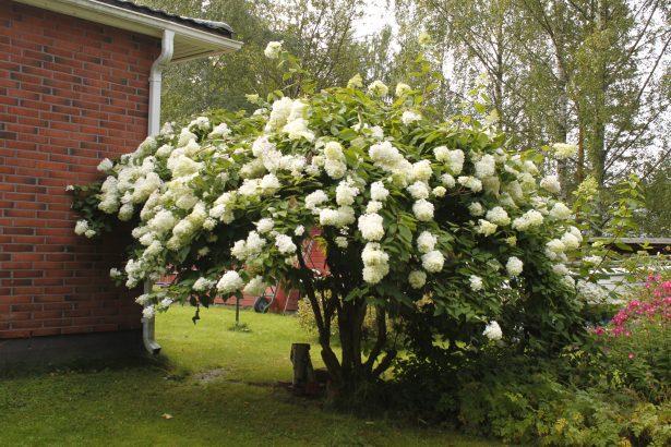 Upeat syyshortensiat kuuluvat suomalaisten puutarhaan.