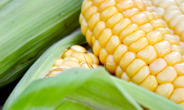 Maissia kasvattamaan!