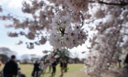 Kirsikankukkien aikaan