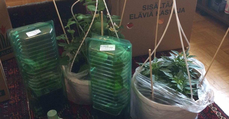 Chiliviljelmien laajennusta ja lämpimien öiden odotusta
