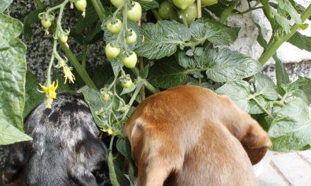 Itse kasvatetut tomaatit maistuvat makeimmalle!