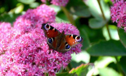 Perhosia puutarhaan