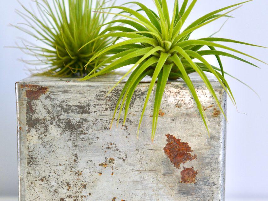 Ihmeelliset ilmakasvit