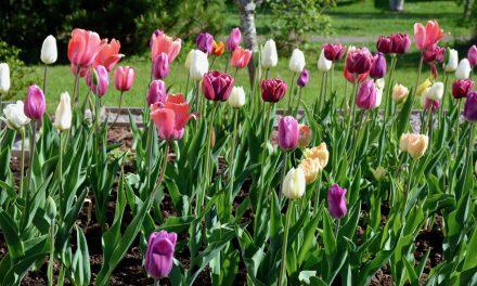 Tulppaanit, puutarhan väriläiskät