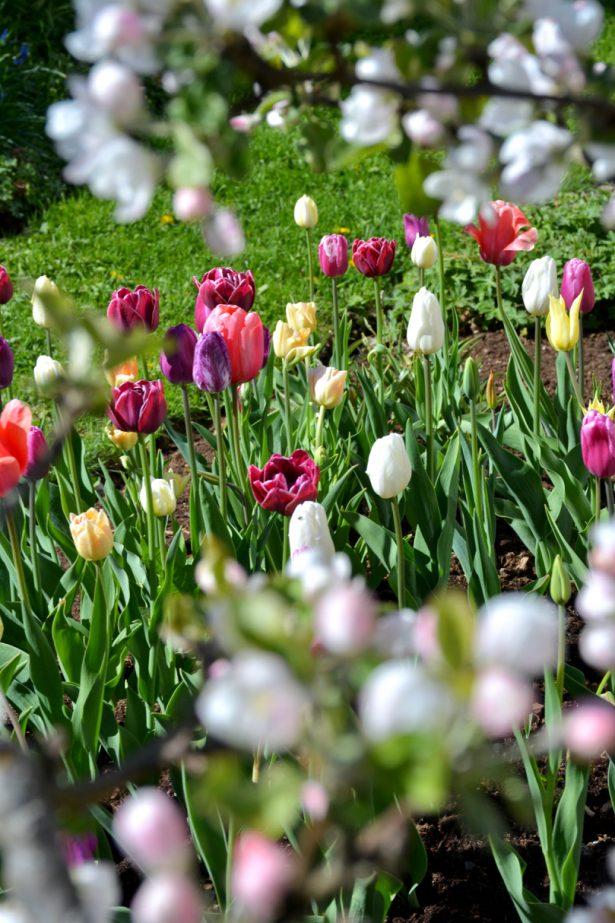 tulppaanit_puutarhanvarilaiskat_marianhyotytarhassa